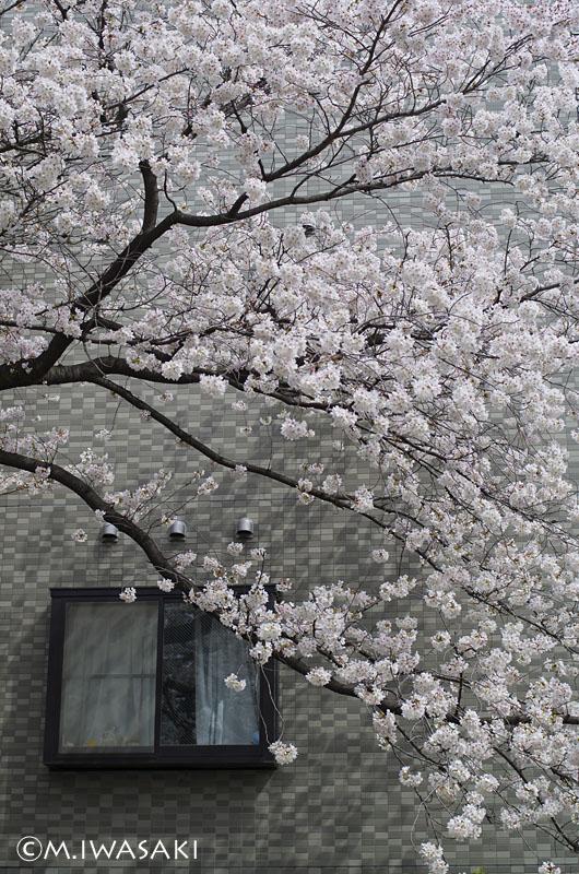 800sakuraiwasaki_igp1005_2