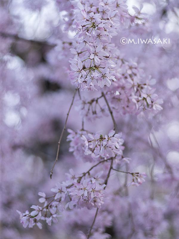 800sidarezakuraiwasaki_p1020666
