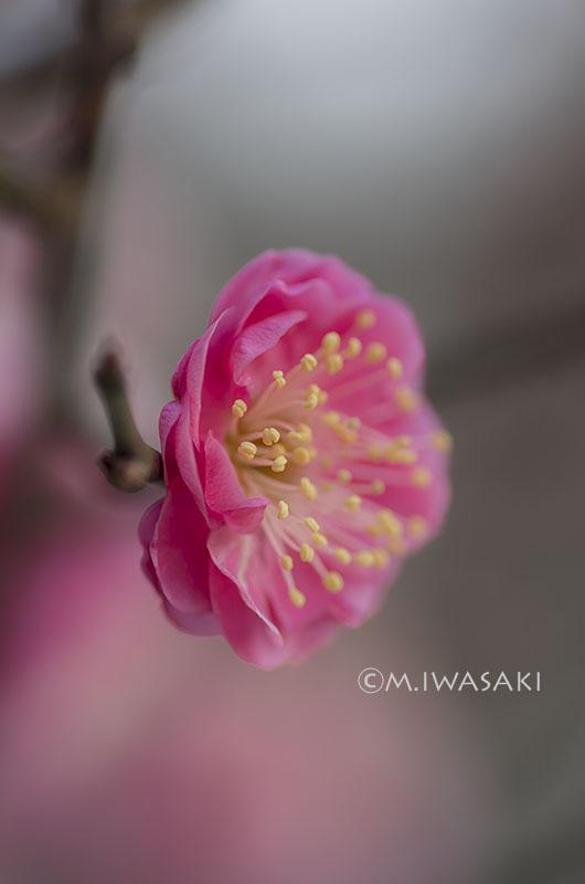 800umeiwasaki_imgp85112
