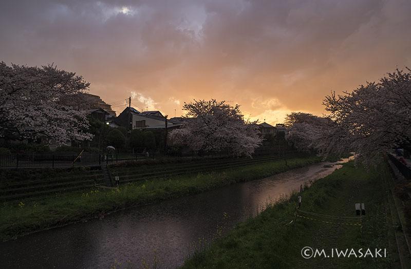 800sakura_nogawaiiwasaki_imgp6491