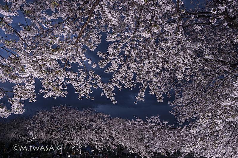 800sakura_nogawaiiwasaki_imgp687023