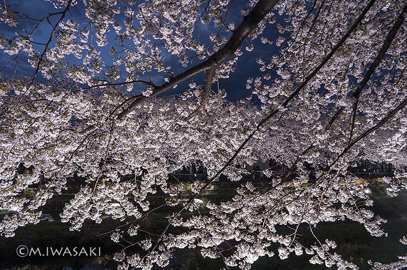 800sakura_nogawaiiwasaki_imgp6930