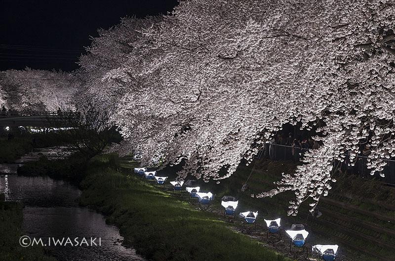800sakura_nogawaiiwasaki_imgp7699