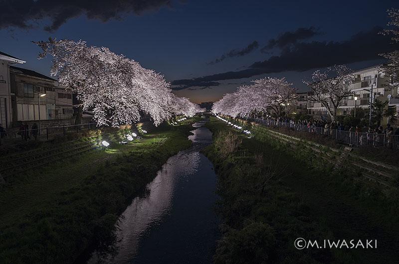 800sakura_nogawaiiwasaki_mgp726623
