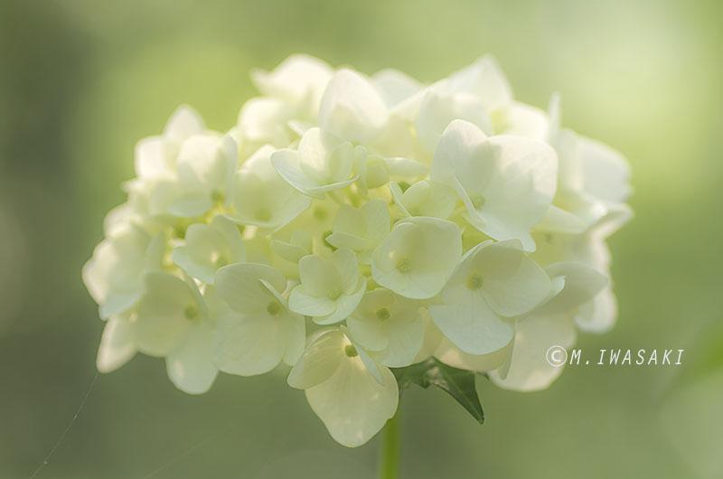 800ajisaiiwasaki_imgp431522