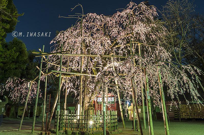 800sakuraiwasaki_igp8588