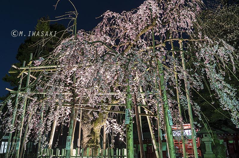 800sakuraiwasaki_igp8595