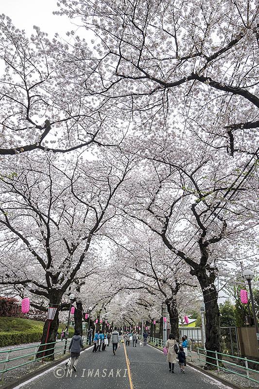 800sakuraiwasaki_img_9507