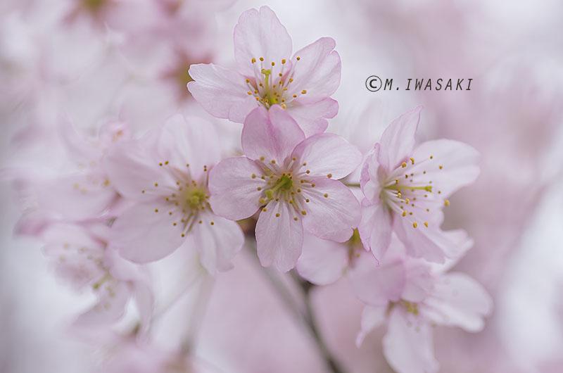 800sakuraiwasaki_imgp3844