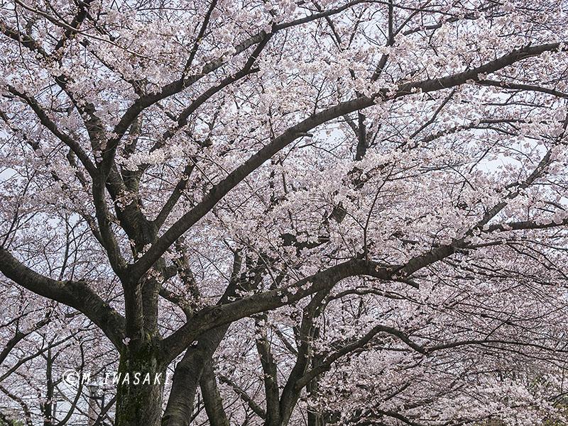 800sakuraaiiwasaki_1p1280277
