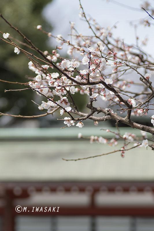 800sakuraiwasaki_imgp0457