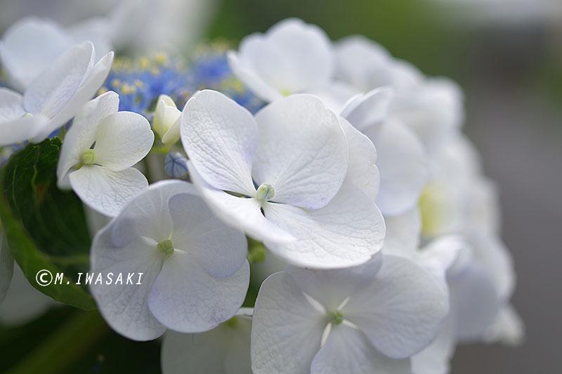 800ajisaiiwasaki_mgp9141