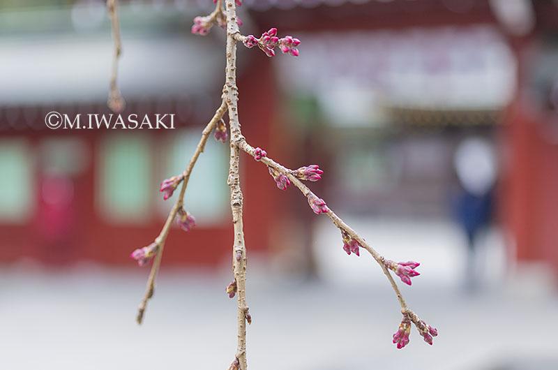 800tamagawaiwasaki_iimgp1525
