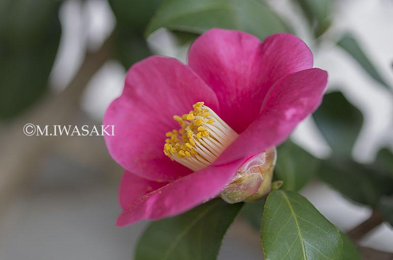 800tamagawaiwasaki_iimgp1599_2