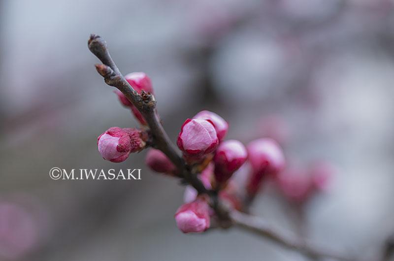 800tamagawaiwasaki_iimgp1621