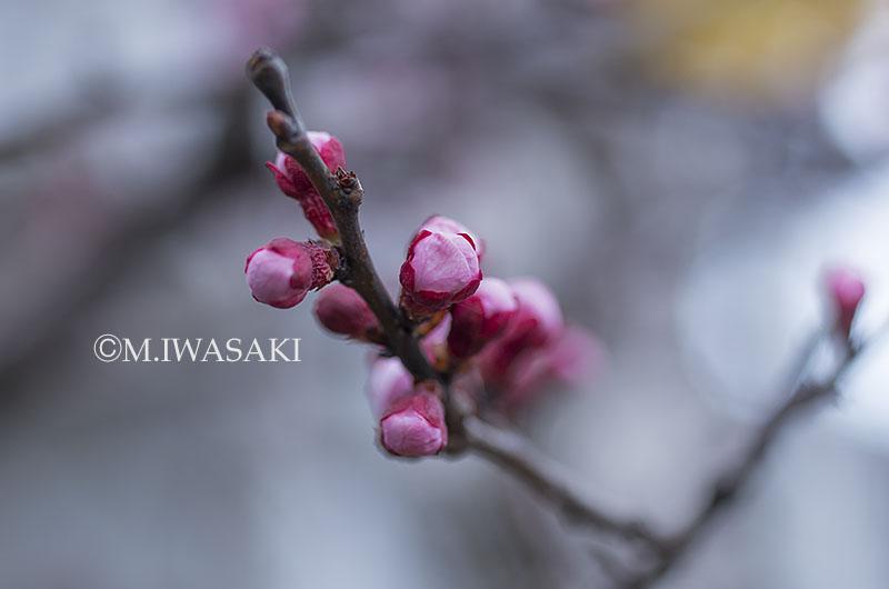 800tamagawaiwasaki_iimgp1623