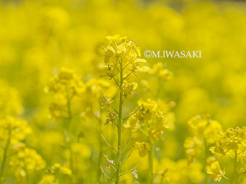 800hanaiwasaki_p3170565