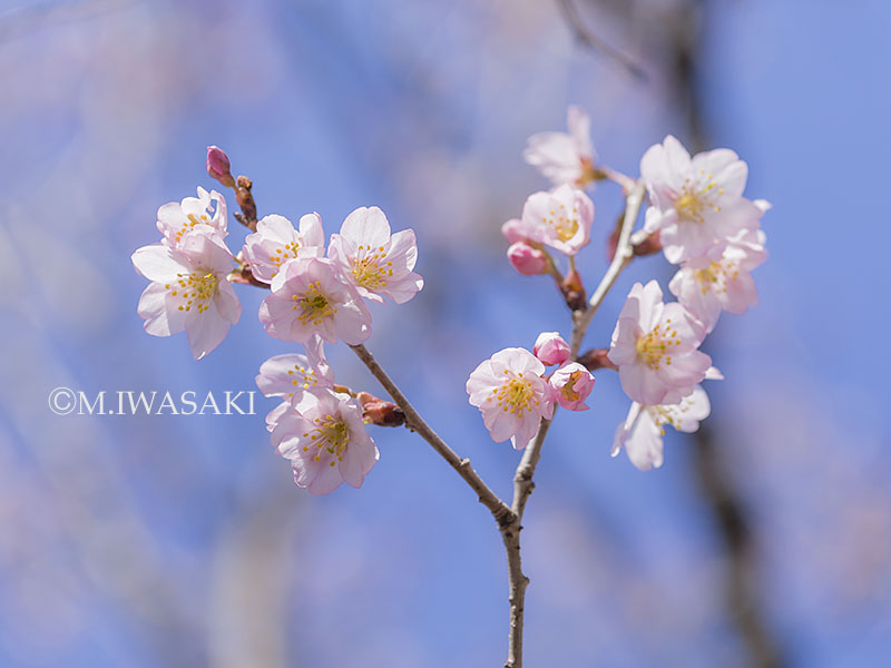 800hanaiwasaki_p3170633
