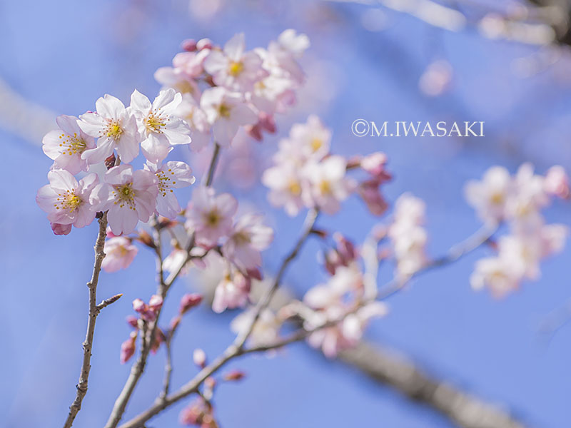 800hanaiwasaki_p3170636