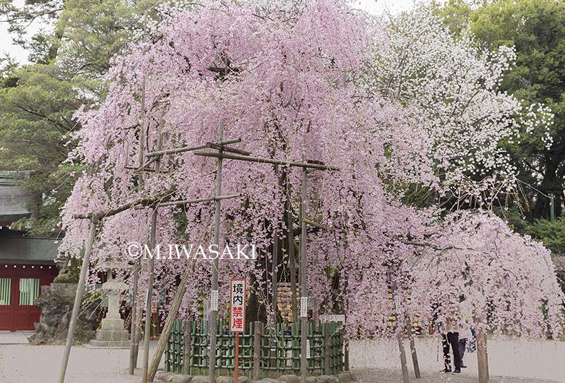 800sidarezakuraiwasaki_imgp09162