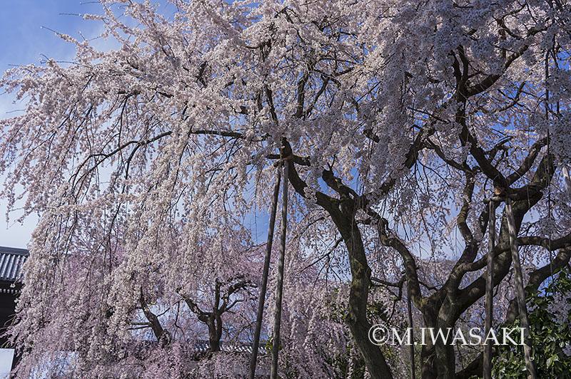 800sidarezakuraiwasaki_imgp8577