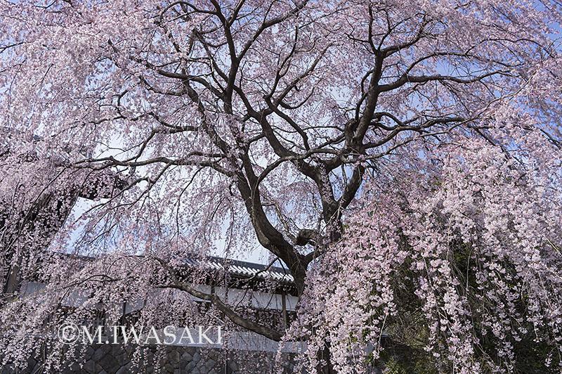 800sidarezakuraiwasaki_imgp8638