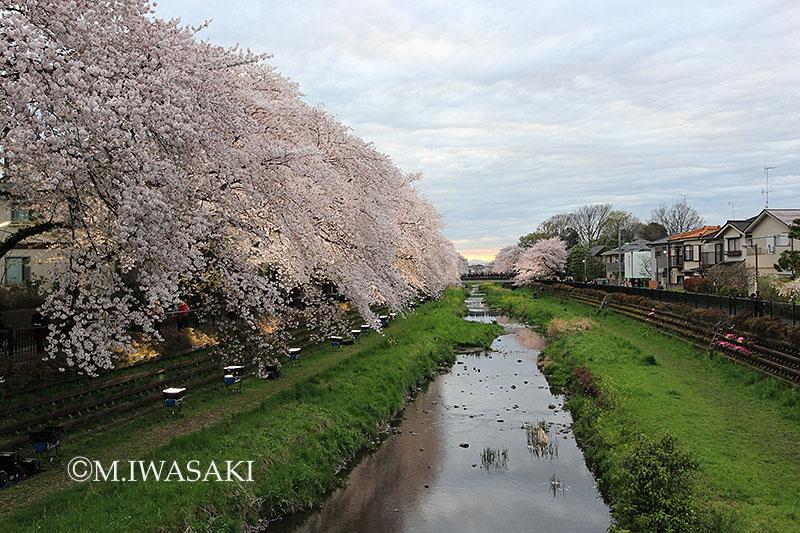 800sakuraiwasaki_img_0207