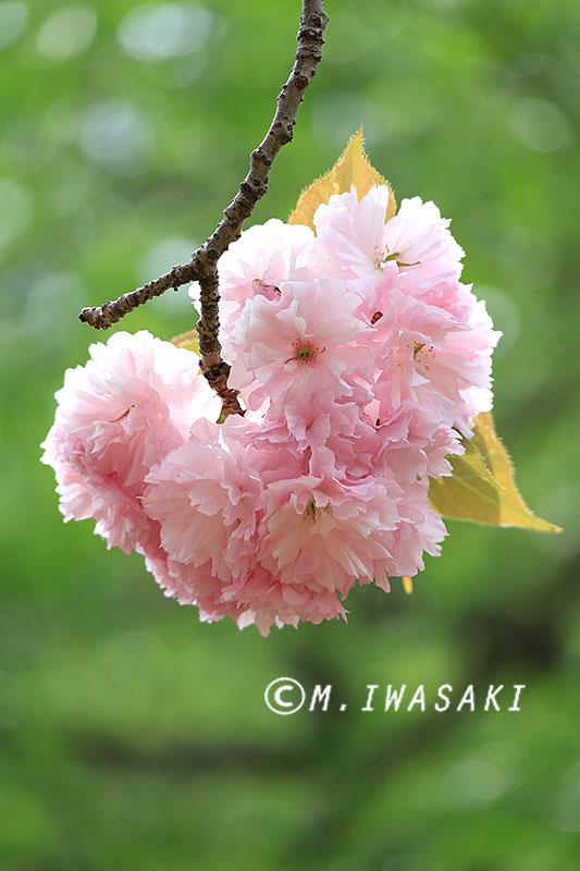 800sakuraiwasaki_img_1264