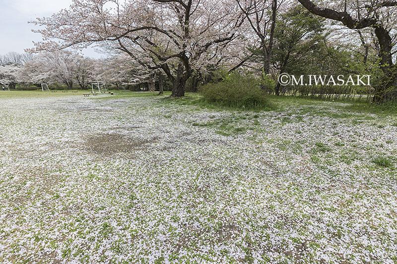 800sakuraiwasaki_img_1409