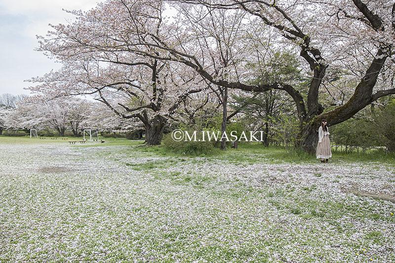 800sakuraiwasaki_img_1447