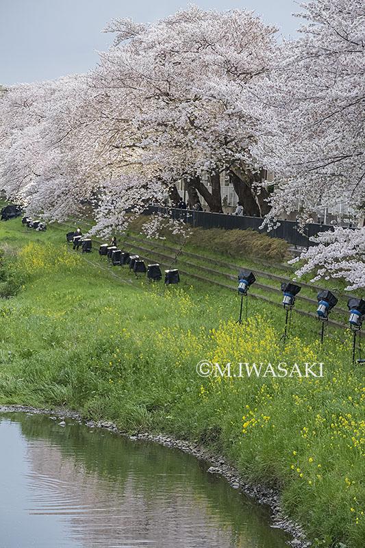 800sakuraiwasaki_img_6703