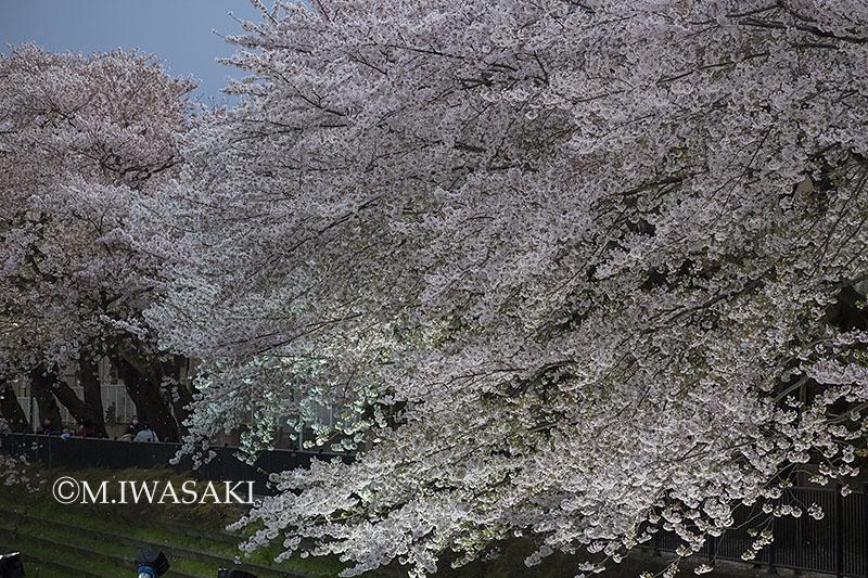 800sakuraiwasaki_img_6743